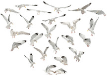 European Herring Gulls, Larus Argentatus, 4 Years Old, Flying