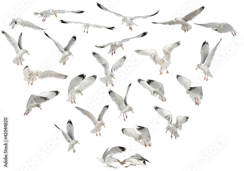 European Herring Gulls, Larus argentatus, 4 years old, flying