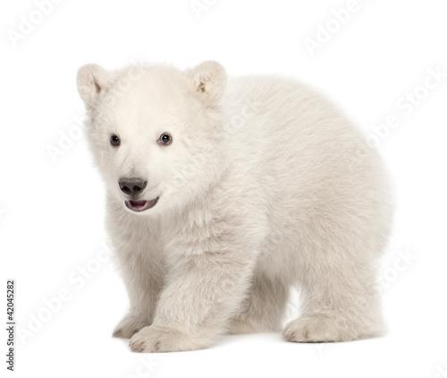 In de dag Ijsbeer Polar bear cub, Ursus maritimus, 3 months old