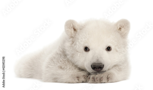 Recess Fitting Polar bear Polar bear cub, Ursus maritimus, 3 months old