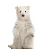 Polar Bear Cub, Ursus Maritimus, 3 Months Old, Sitting