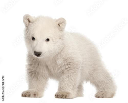 Staande foto Ijsbeer Polar bear cub, Ursus maritimus, 3 months old