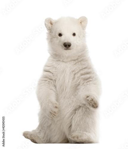 Staande foto Ijsbeer Polar bear cub, Ursus maritimus, 3 months old, sitting