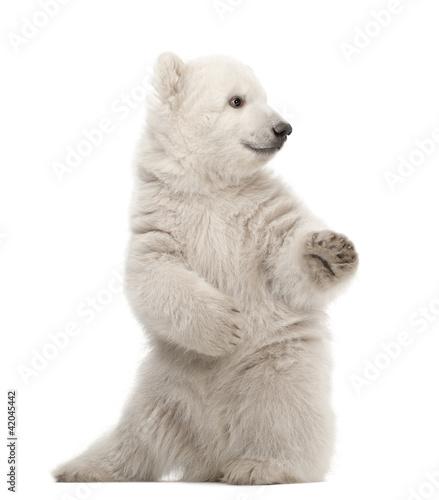 In de dag Ijsbeer Polar bear cub, Ursus maritimus, 3 months old, sitting