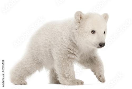 In de dag Ijsbeer Polar bear cub, Ursus maritimus, 3 months old, walking
