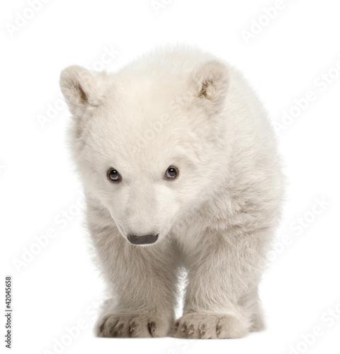 In de dag Ijsbeer Polar bear cub, Ursus maritimus, 3 months old, standing