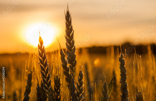 Papiers peints Morning Glory Wheat Stalk silhouette