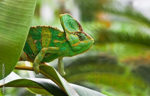 Staande foto Kameleon Green Jemenchameleon or Chamaelio calyptratus