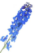 Blooming Blue Delphinium On A ...