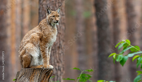 Photo Stands Lynx Luchs