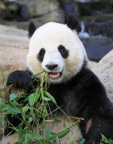 Recess Fitting Panda giant panda eating bamboo leaves