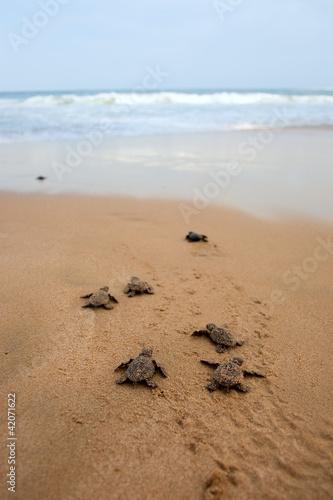 Loggerhead sea turtle emergence