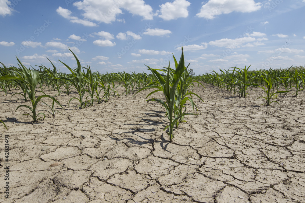 Fototapeta dry cornfield