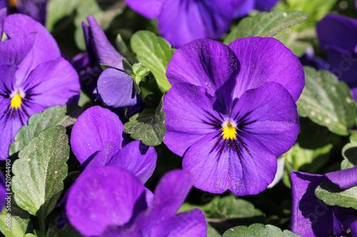 Pansies Purple Pansy Flowers