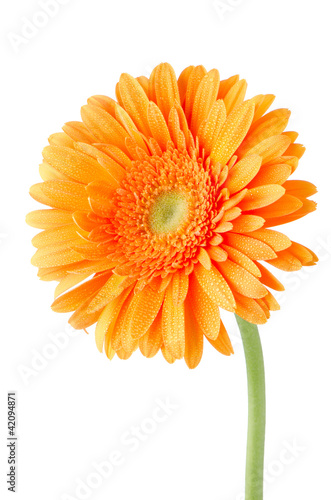 Wall Murals Gerbera Orange gerbera daisy flower