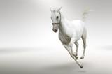 Biały koń w galopie na jasnym tle