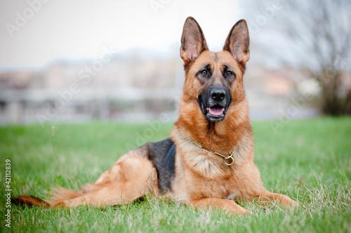 Valokuva german shepherd dog lying on grass
