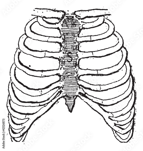 Sternum Or Breastbone Vintage Engraving
