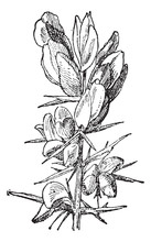 Gorse Or Ulex Sp., Vintage Engraving