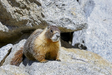 Yellow-bellied Marmot, Yosemit...