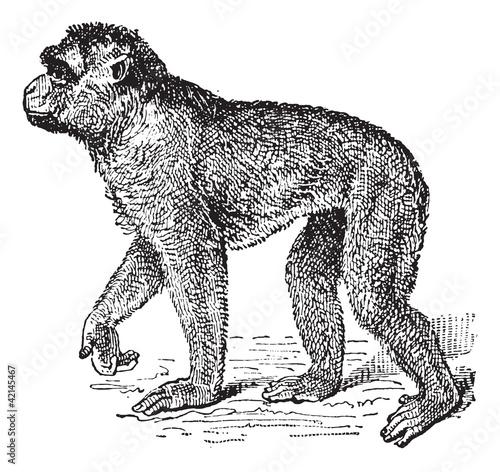 Fotografie, Obraz  Barbary Macaque or Macaca sylvanus, vintage engraving