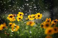 Daisy Flower With Rain Drops