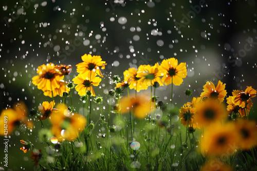 stokrotka-kwiat-z-kroplami-deszczu