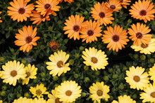 Colourful African Daisies