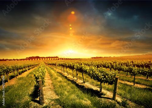 Photo sur Aluminium Vignoble Stunning Vineyard Sunset