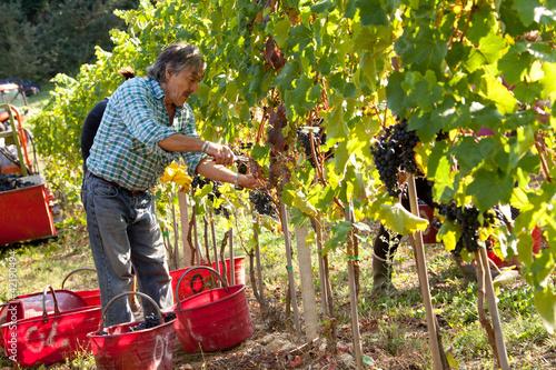 Fotografía  Vendemmia Raccolto dell'uva