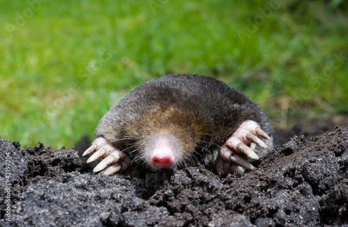 Fotografie, Obraz  Mole in sand