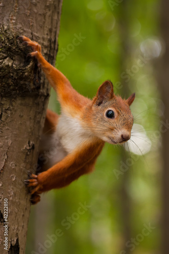 Staande foto Eekhoorn Red squirrel