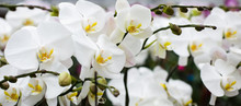 A Cluster Of White Orchids
