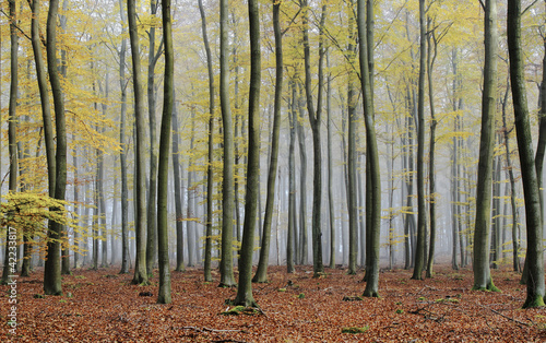 Spoed Foto op Canvas Bos in mist misty autumn