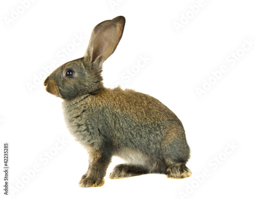 Valokuvatapetti gray rabbit isolated