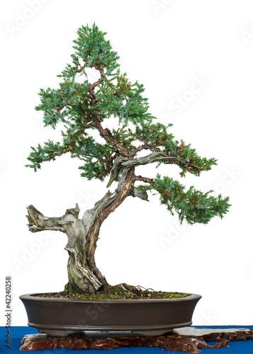 Fotobehang Bonsai Blauzeder-Wacholder (Juniperus squamata) als Bonsai-Baum