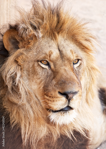 Head portrait of lion animal