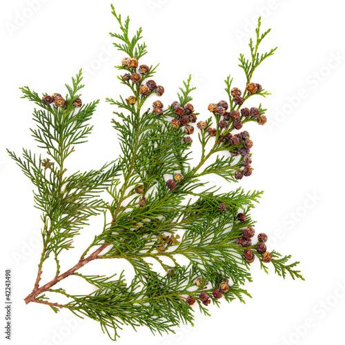 Foto  Cedar Leaves