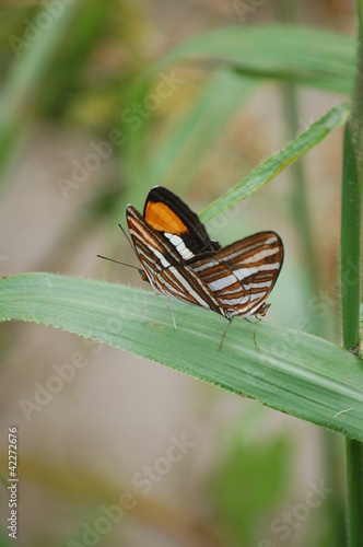 Fotografie, Obraz  Mating postman butterflies in Parana, Brazil