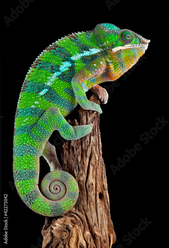 Fototapeta na wymiar Chameleon on drift wood