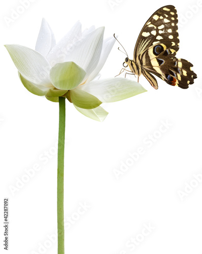 Papiers peints Papillon papillon sur fleur blanche de lotus