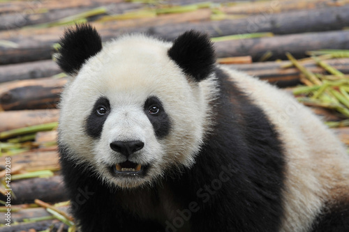 Stickers pour portes Panda Giant panda bear looking in camera