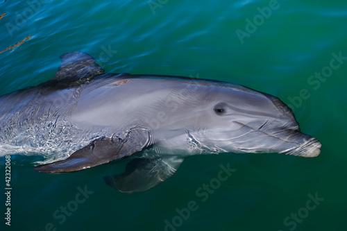 Poster Dolfijnen Playful dolphin