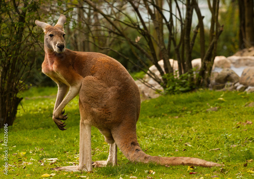 Cadres-photo bureau Kangaroo kangaroo red, Macropus rufus