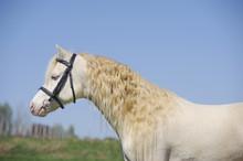 Cremello Welsh Mountain Pony S...