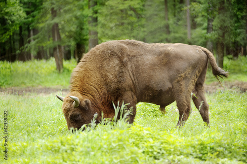 Photo  male of rare animal aurochs in national park Priokskiy national