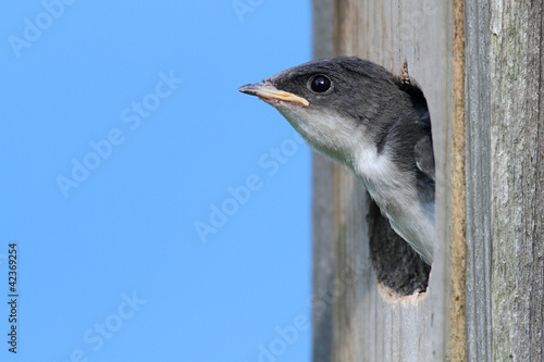 Aufkleber - Baby Tree Swallow Begging For Food