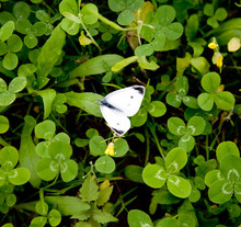 White Small Butterflies