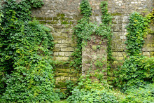 Old Stone Wall Overgrown With Ivy
