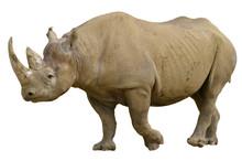 Closeup Of Black Rhinoceros (Diceros Bicornis) Walking